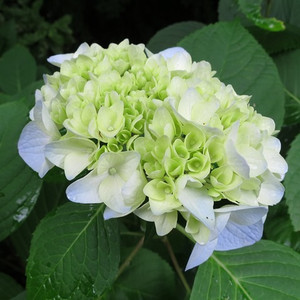 北鎌倉 明月院 紫陽花 写真